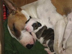 Bull terrier mother and new born baby