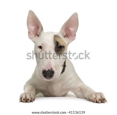 Bull Terrier puppy, 5 months old, in front of a white background, studio shot