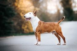 Bull terrier show dog posing. Happy dog in kennel. Bullterrier outside