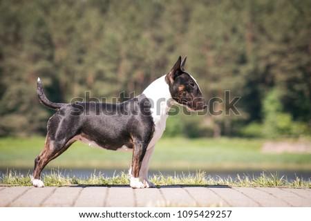 Bull terrier show dog posing. Mini bullterrier. #1095429257