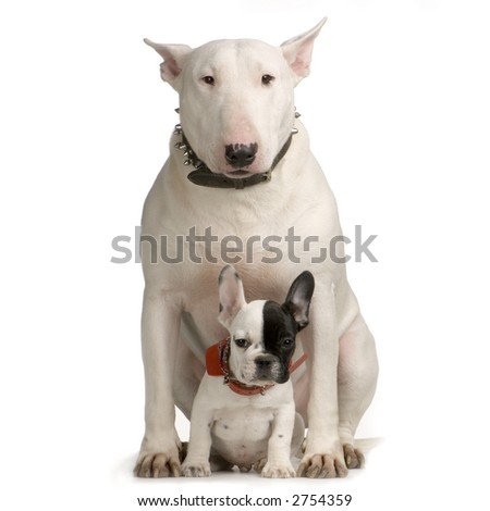 Bull Terrier sitting in front of a white background and looking at the camera