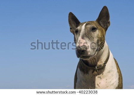 Bull terrier, sky in the back.