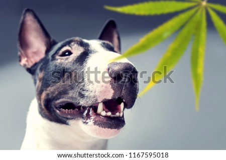 Bull Terrier sniffs a leaf of Marujuana. Trained dog looking for drugs