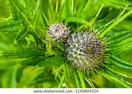 Bull Thistle (Cirsium vulgare) is a non-native species that thrives throughout California, except in desert regions, Russian Gulch, Mendocino, California.