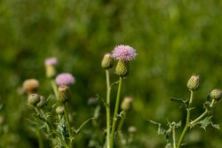 Bull thistle or Cirsium vulgare is a plant that is related to the sunflower family also Bull thistle is a widespread biennial thistle originally from Europe and Asia