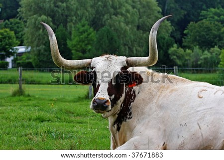 bull with large horns on green field in Canada