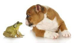 bulldog and bullfrog - english bulldog and bullfrog isolated on white background