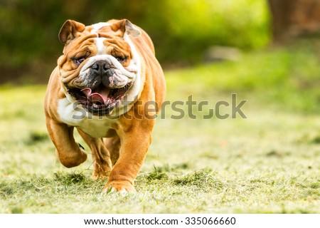 bulldog english run pet funny training move power purebred english bulldog move toward the camera ragged face closeup bulldog english run pet funny training move power courage fast rapid nose toward f Stock photo ©