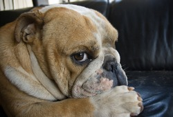 Bulldog giving sideways glance with paw stretched out.