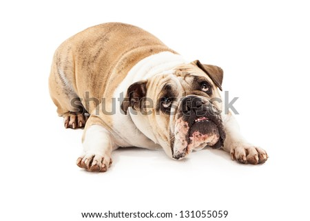 Bulldog laying against a white background looking up with a guilty expression