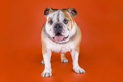 Bulldog on a red background
