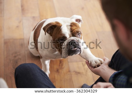 Bulldog playing with owner
