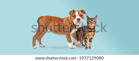 bulldog puppy and a tabby cat standing in front of a light blue background both staring at the camera