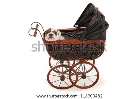 Bulldog puppy into a antique dolls cart