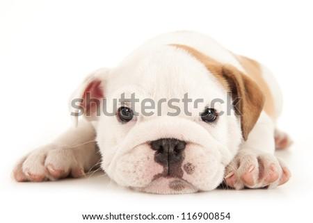 Bulldog puppy lies on white background