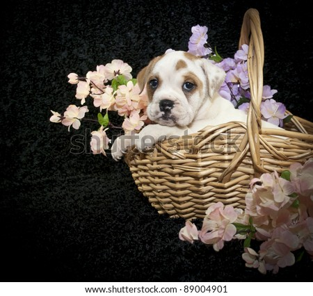 Bulldog puppy sitting in a basket with pink and purple flowers on a black background.