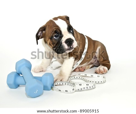 Bulldog puppy with weights and Measuring tape on a white background.