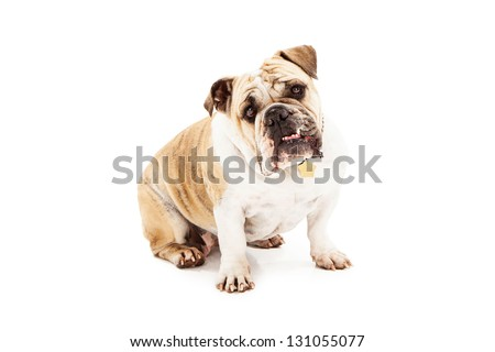 Bulldog sitting against a white backdrop looking at camera with bottom teeth sticking out