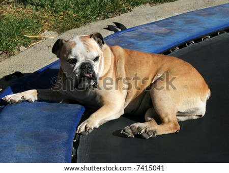 bulldog sitting on trampoline