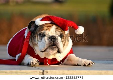Bulldog with Santa costume