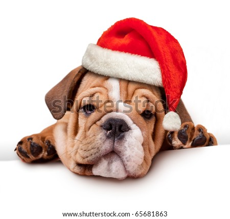 bulldog with Santa Hat on white banner