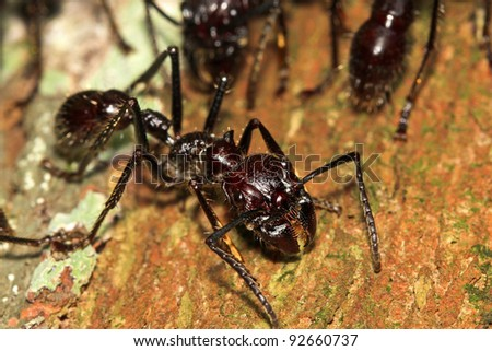 Bullet Ants in the Peruvian Amazon: the most painful and dangerous stinging insect in the WORLD!
