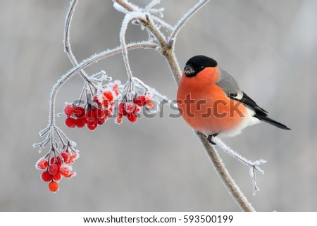 Bullfinch. Bird in winter. Red male on branch with red berries on white background in frost. Pyrrhula pyrrhula.
