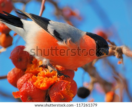 Bullfinch On a sunny day a bird sitting on a branch and bite apples