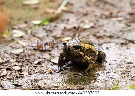 bullfrog #640387903
