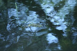 Bullfrog frog in its natural habitat,green frog  in with reflection on water