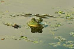 Bullfrog in a small lake at a Michigan park.