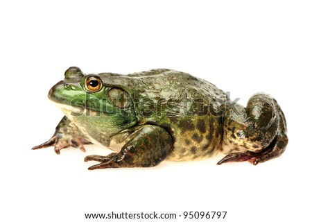 Bullfrog, Rana catesbeiana, against white background, studio shot