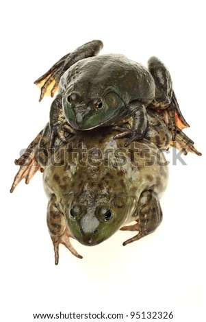 Bullfrog, Rana catesbeiana, against white background, studio shot