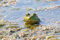 Bullfrog resting in shallow water on a hot day with only its face showing above the surface