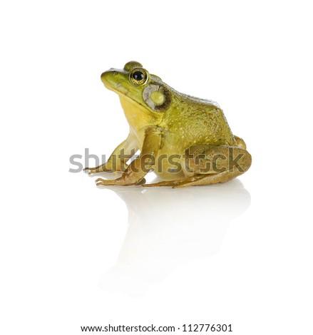bullfrog species from southwestern ontario - studio shot isolated