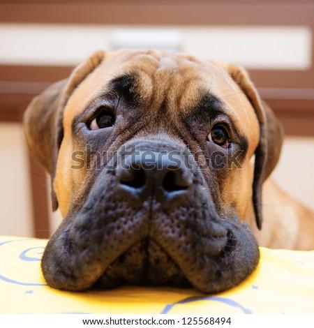 bullmastiff puppy portrait close-up. looks into the camera