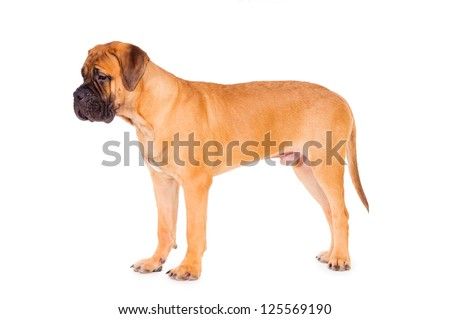 bullmastiff puppy stands on a white background. dog portrait isolated. age 6 months