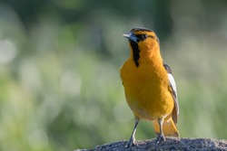 Bullock's Oriole bird male perched on rock with green background