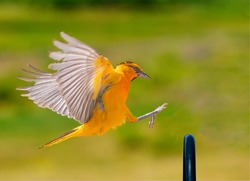Bullock's Oriole coming in for a landing