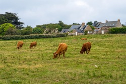 Bulls and Cows in a pasture at picturesque Ile de Brehat island in Cotes-d'Armor department of Brittany, France