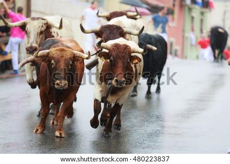 Bulls are running in street during festival