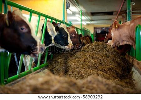 Bulls in a farm