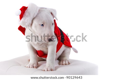 Bullterrier puppy in Santa suit over white