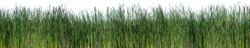 Bulrush, Cattail, Cat-tail, Elephant grass, Flag, Narrow-leaved Cat-tail, Narrowleaf cattail, Lesser reedmace, Reedmace tule , isolate on white background