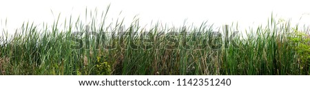 Bulrush, Cattail, Cat-tail, Elephant grass, Flag, Narrow-leaved Cat-tail, Narrowleaf cattail, Lesser reedmace, Reedmace tule , isolate on white background . Сток-фото ©