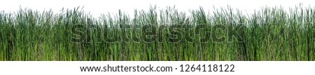 Bulrush, Cattail, Cat-tail, Elephant grass, Flag, Narrow-leaved Cat-tail, Narrowleaf cattail, Lesser reedmace, Reedmace tule , isolate on white background #1264118122