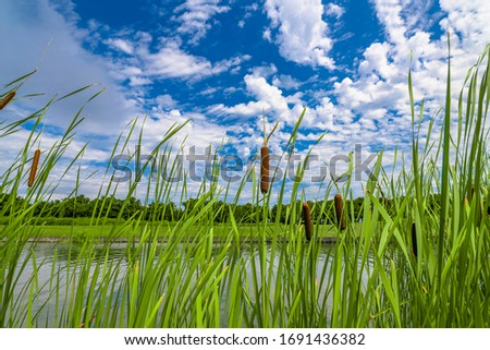 Bulrush, cattails and reeds at pond in green beautiful park. Typha latifolia Stockfoto ©