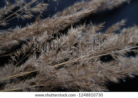 Bulrush closeup texture over dark background template. Rye design mock up wallpaper. Autumn mock up with dry flowers/bulrushes with space for text.