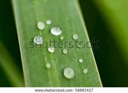 Bulrush leaf with water drops on it. - stock photo