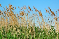 bulrush on background sky